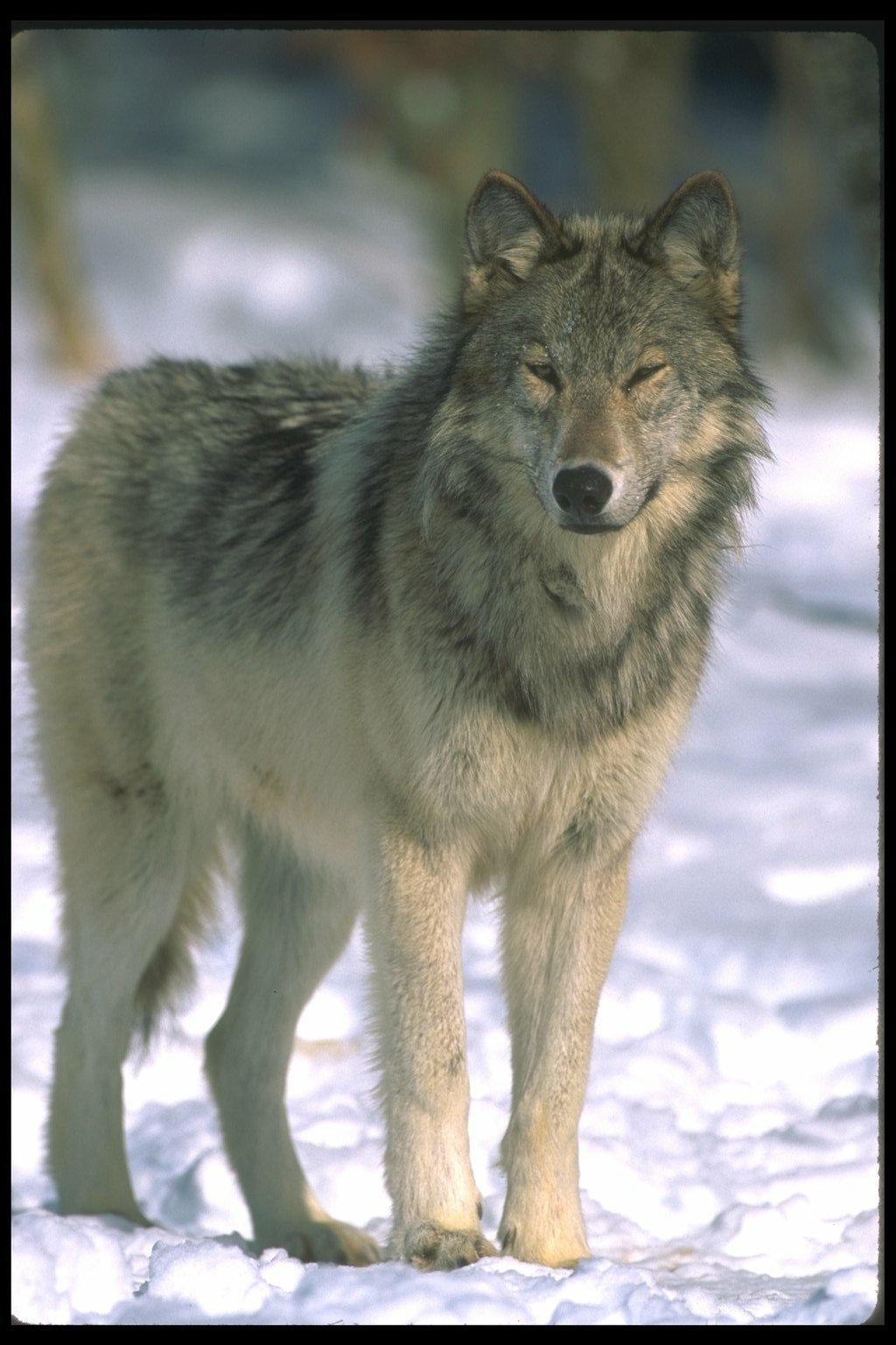 Фотки лис и волк 5 фотография